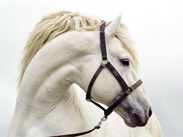 magnifique cheval blanc