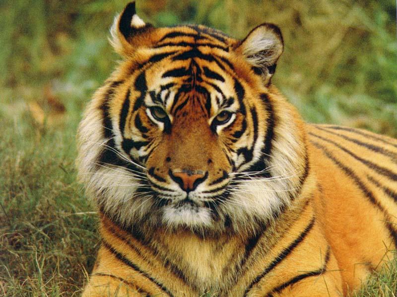 fond d'ecran tigre